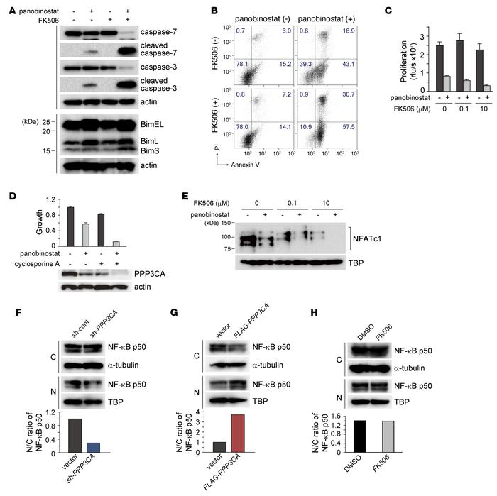 Calcineurin inhibition enhances apoptosis and blocks proliferation, and ...