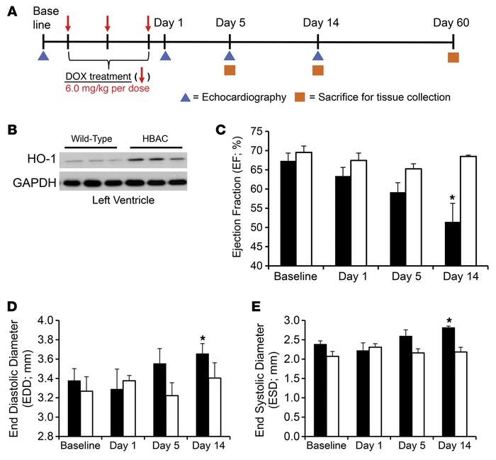 Heme oxygenase-1 overexpression prevents doxorubicin-induced cardiac tox...