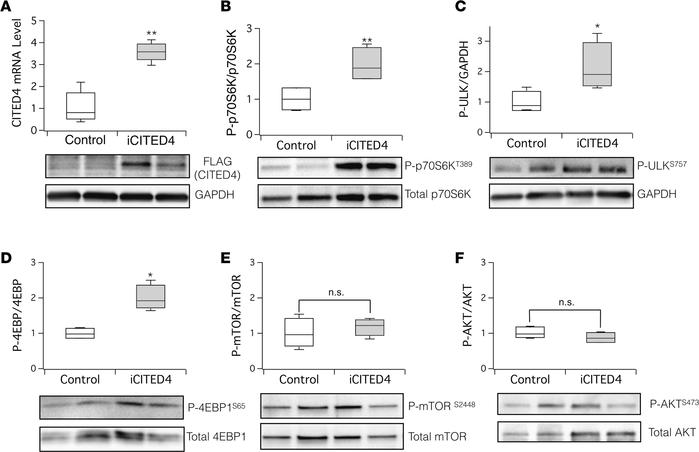 CITED4 expression activates mTORC1 signaling targets in the heart after ...