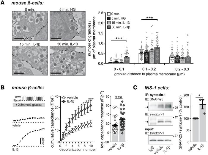 Acute treatment with IL-1β increases the number of docked insulin granul...