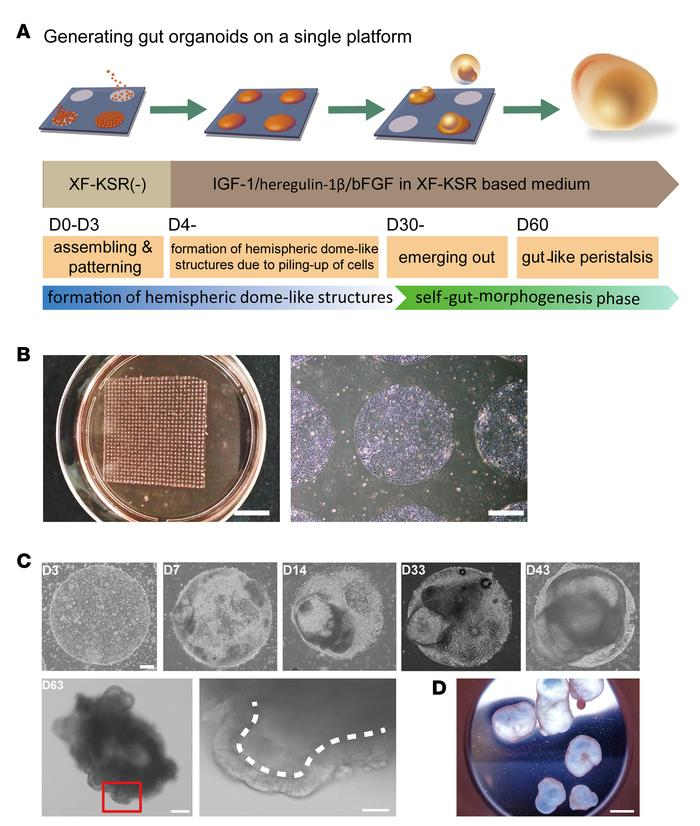 Generation of peristaltic gut organoids from human pluripotent stem cell...
