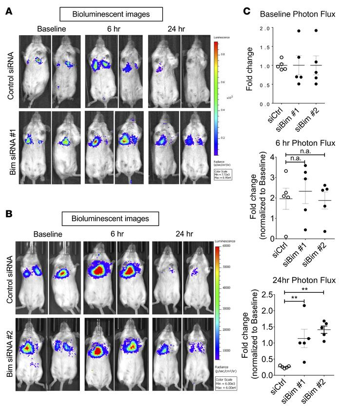 Bim depletion increases lung accumulation of ELT3 cells in vivo. (A and ...