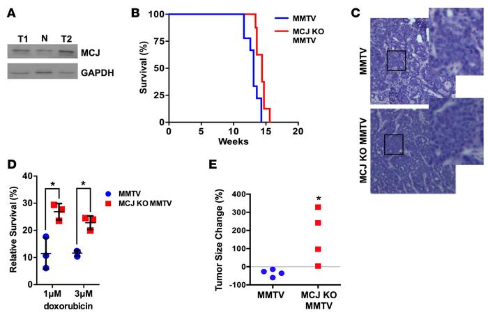 Increased chemoresistance in murine mammary tumors lacking MCJ. (A) MCJ ...