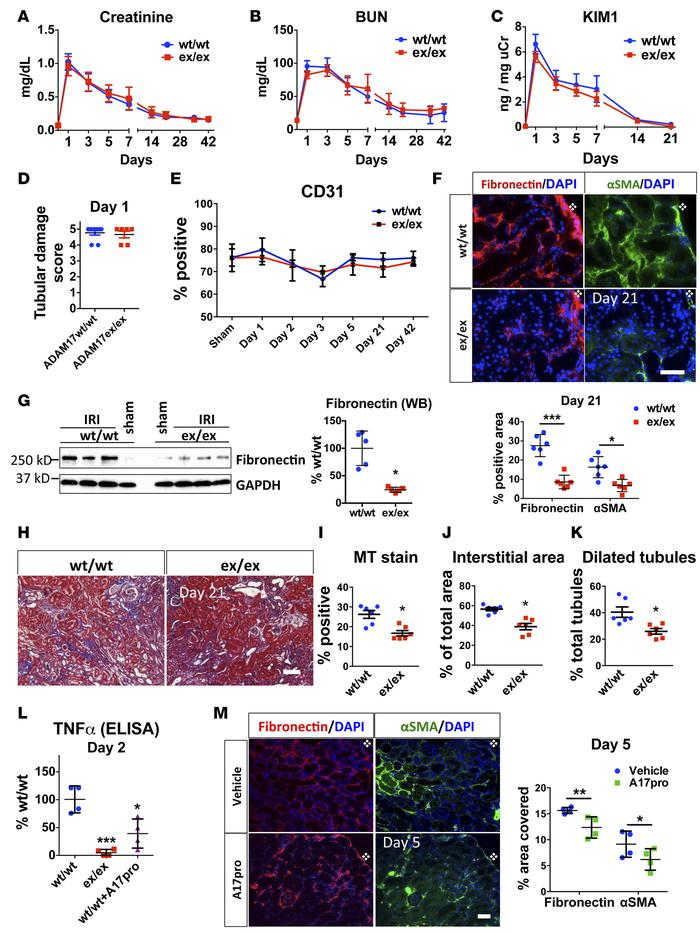 Global targeting of ADAM17 results in similar initial IRI-induced injury...