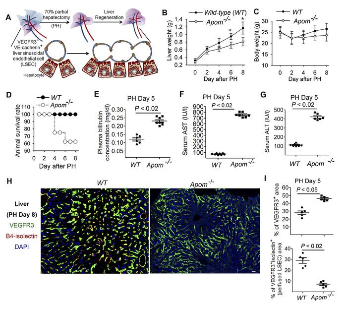 Regeneration of liver mass and vascular structure in mice deficient of H...