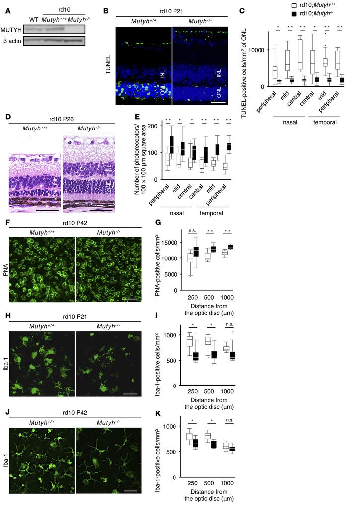 Mutyh deficiency protected photoreceptors against cell death and suppre...