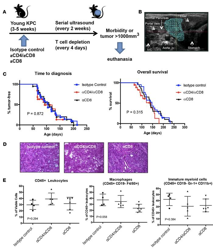 T cell dependency of KPC pancreatic cancer. (A) Experimental design for ...