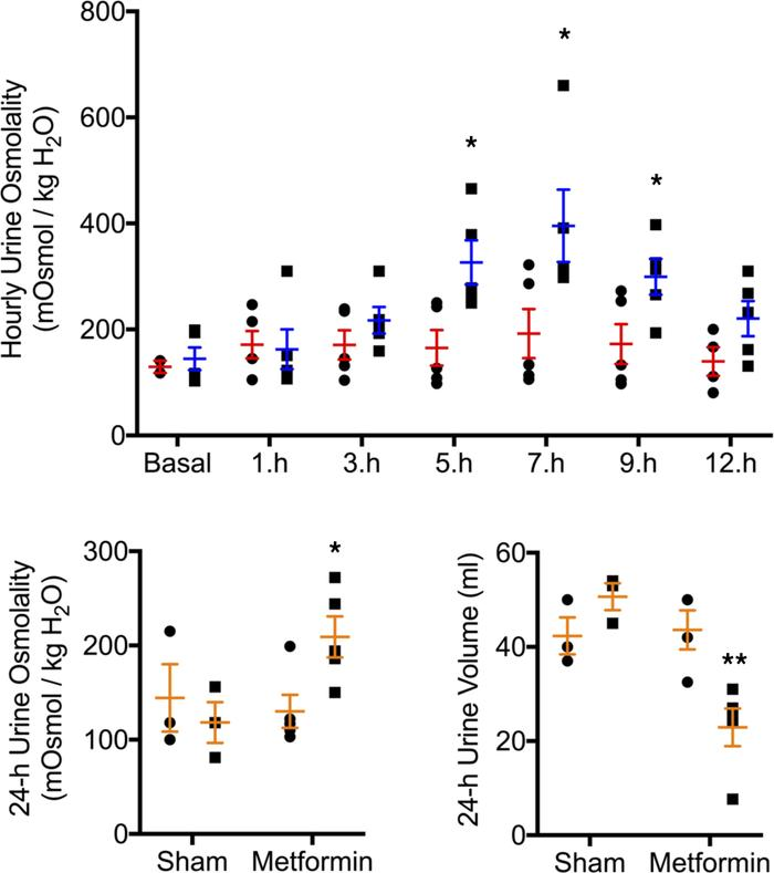 Jci Insight Metformin Improves Urine Concentration In Rodents