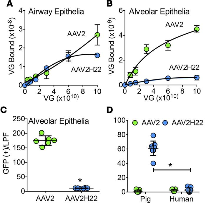 AAV2H22 binds specifically to the apical surfaces of pig airway epitheli...