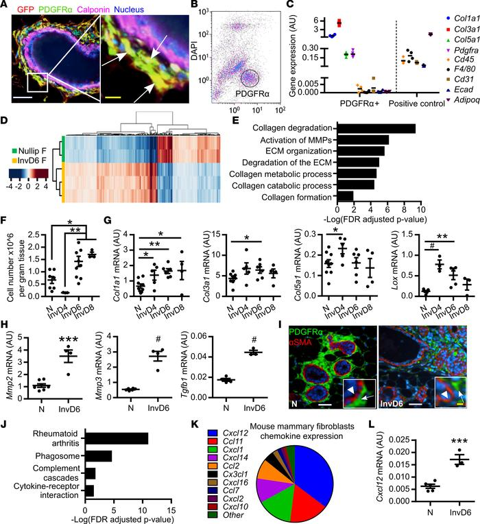 Mammary fibroblasts are activated during weaning-induced gland involutio...