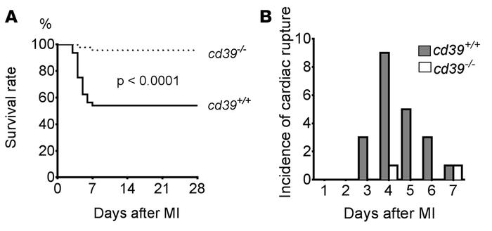 Survival of cd39+/+ and cd39–/– mice after myocardial infarction. (A) Ka...