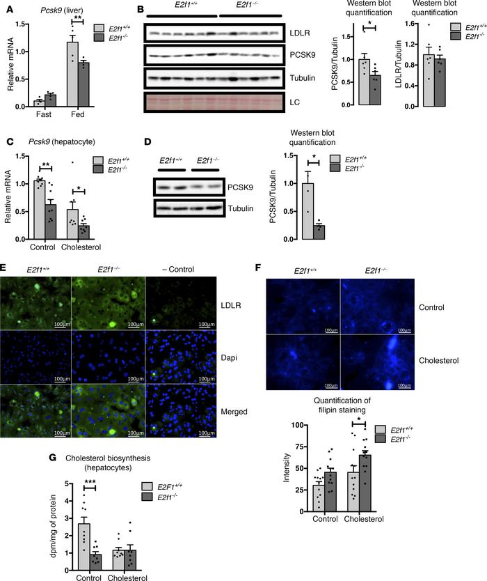 Loss of E2f1 decreases Pcsk9 expression and increases LDLR protein expre...