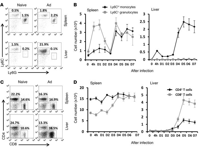 Recruitment of Ly6Chi monocytes and T cells to the liver upon adenoviral...