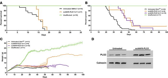 AAV9-PLS3 extends survival in intermediate Smn2B/– mice but not in sever...