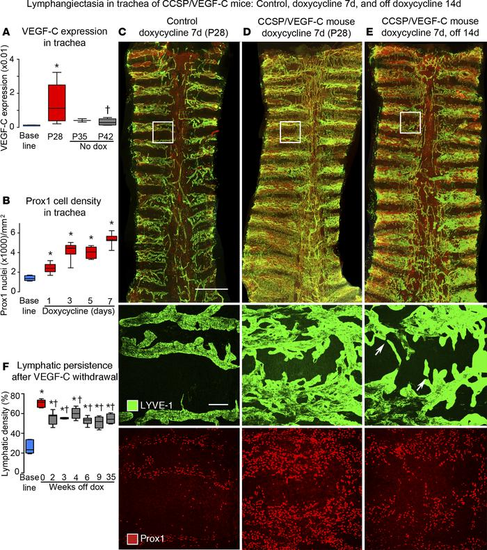Lymphatics in tracheas of CCSP/VEGF-C mice before and after doxycycline....