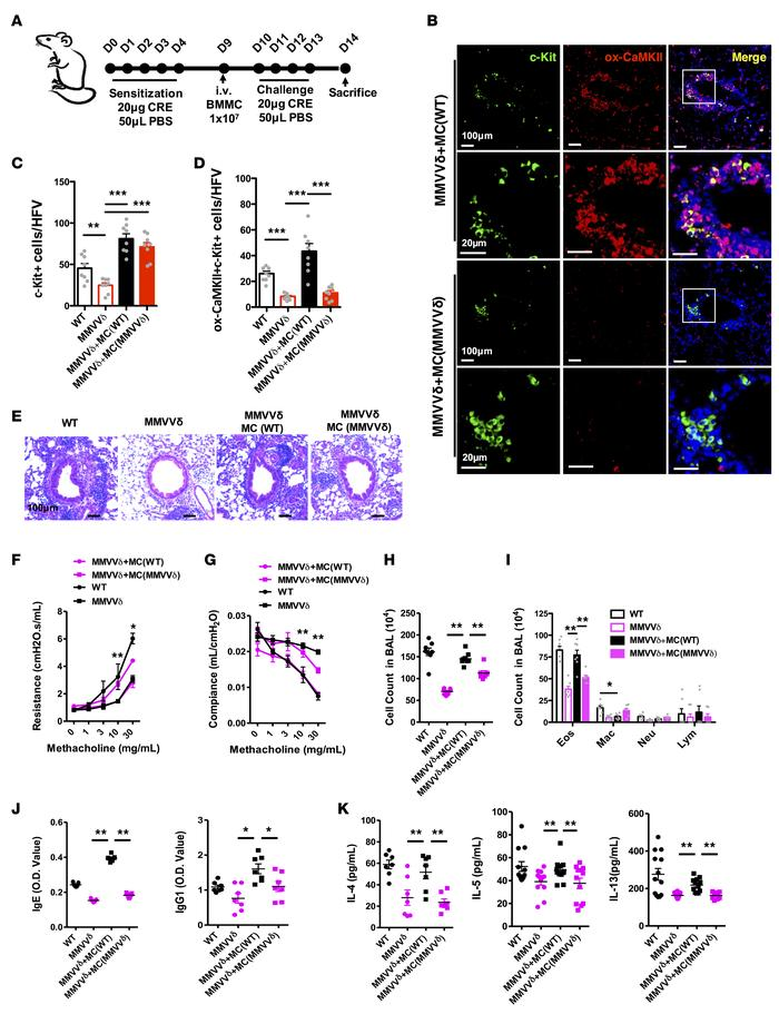 Adoptive transfer of WT mast cells reverses the protective effect of CaM...