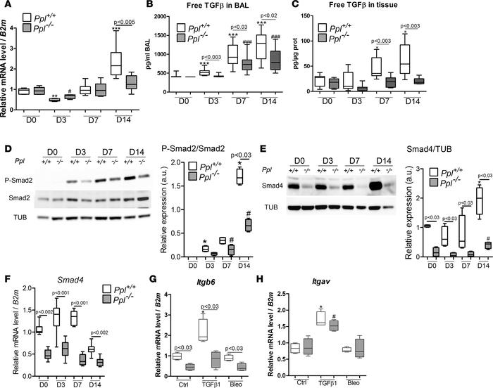 TGF-β signaling was disturbed in Ppl–/– mice. (A) qPCR was performed to ...