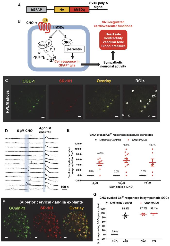 Selective and functional expression of hM3Dq by GFAP+ glia in Gfap-hM3Dq...
