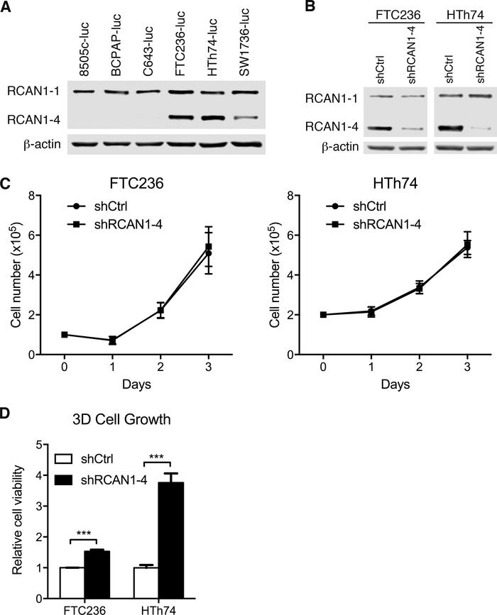 RCAN1-4 knockdown promotes cell 3D spheroid growth in vitro. (A) Endogen...