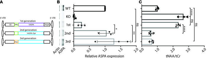 Optimized gene expression cassette rescues normal ASPA protein and NAA l...