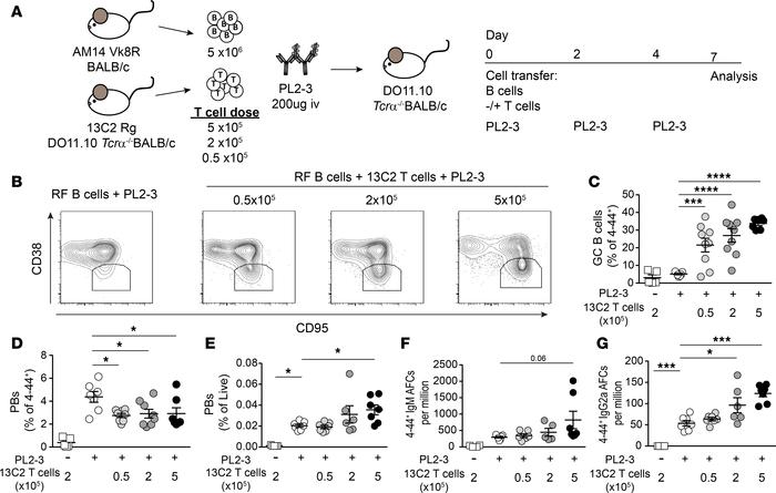 The effects of cognate T cell help for AM14 B cells depend on a threshol...