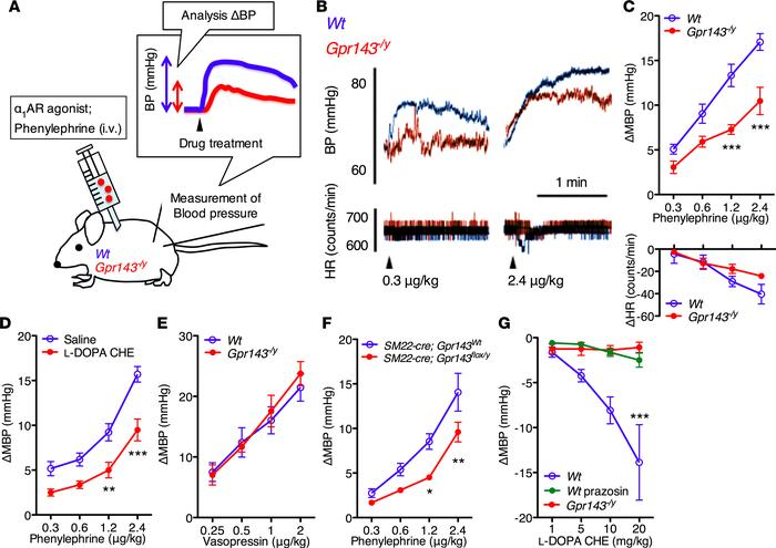Impaired pressor response to phenylephrine in Gpr143–/y mice. (A) Schema...