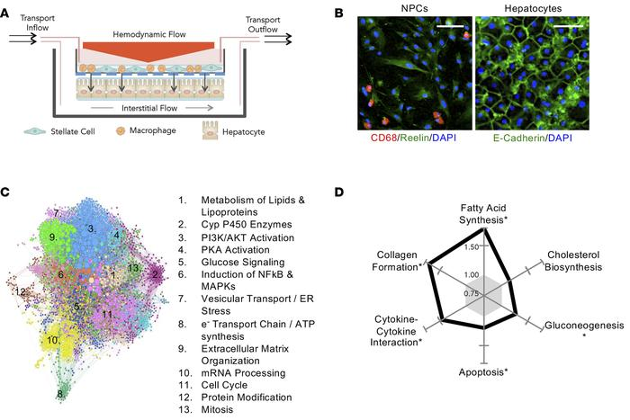 Adaptation of the in vitro human liver system to mimic human nonalcoholi...