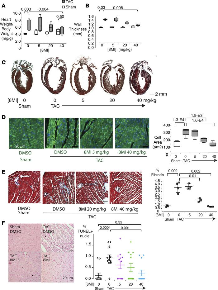A muscle enhancer factor-2 (MEF2) modulator prevents cardiac hypertrophy...