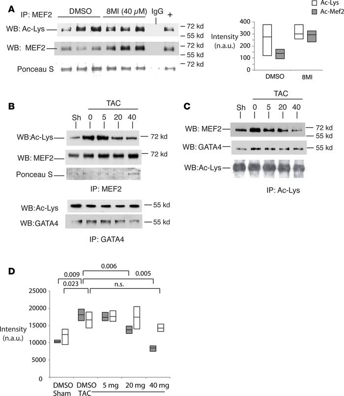 8MI decreases stress-induced muscle enhancer factor-2 (MEF2) acetylation...