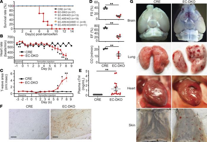 Endothelial-specific Klf2 and Klf4 deletion leads to rapid death of adul...