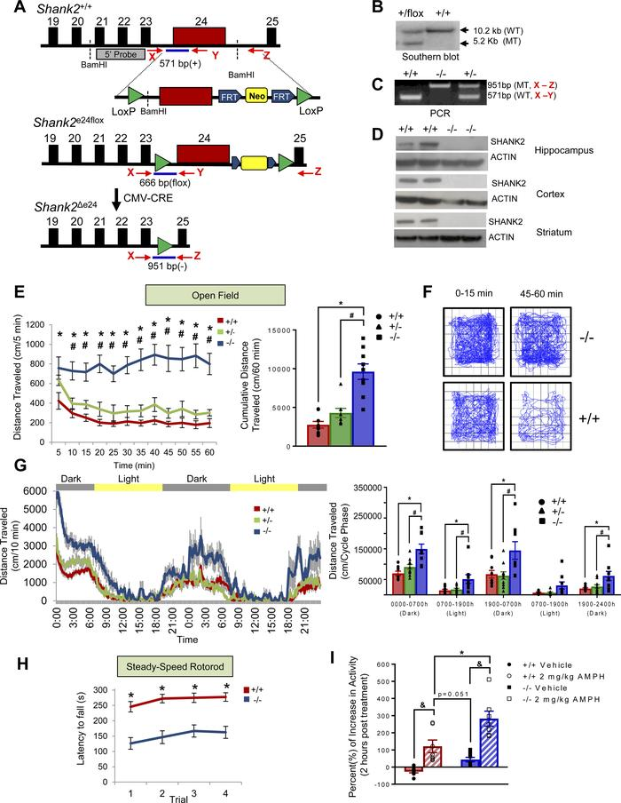 Generation of Shank2Δe24 mutant mice and mania-like behaviors in these m...