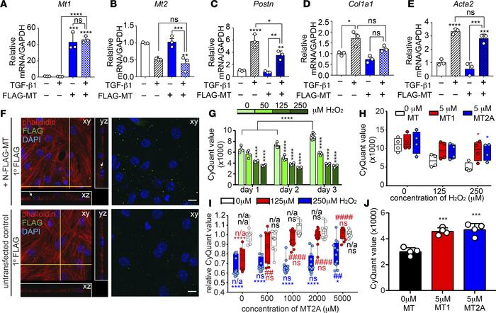 MT modestly inhibits the myofibroblast response and protects CMs from RO...