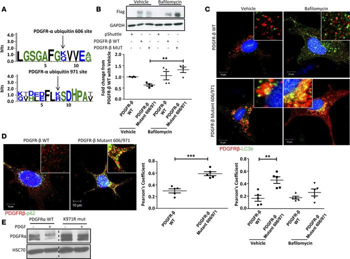 PDGFR-α autophagy requires the ubiquitination of specific lysine residue...