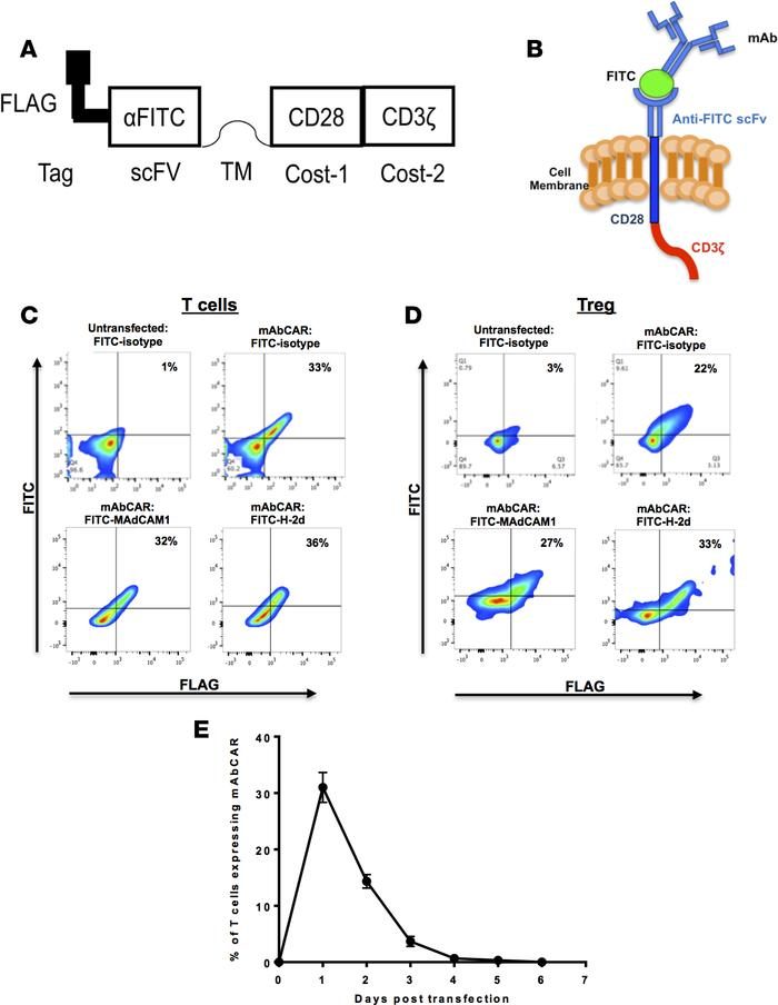 mAbCAR construct and its expression in transfected T cells and Tregs. (A...