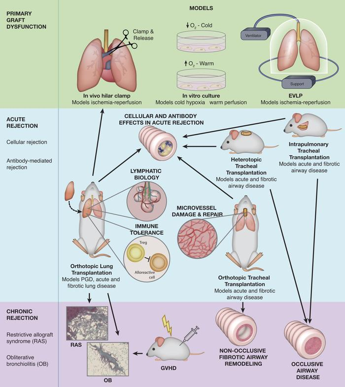 A summary of preclinical models used for lung transplant research. There...