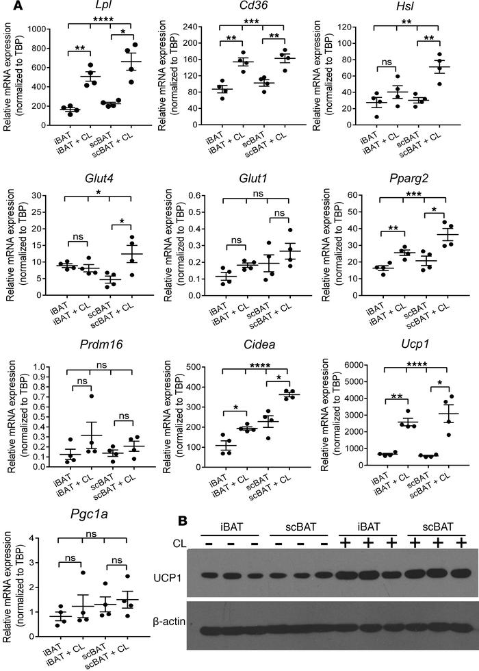 The β3-adrenergic pathway mediates thermoactivation of scBAT in mice. (A...