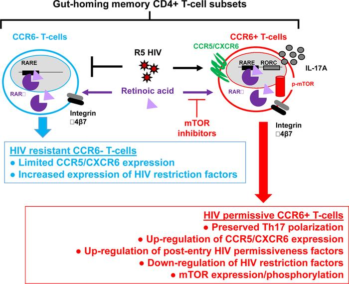 Mechanisms contributing to HIV replication in gut-homing CCR6+ T cells. ...