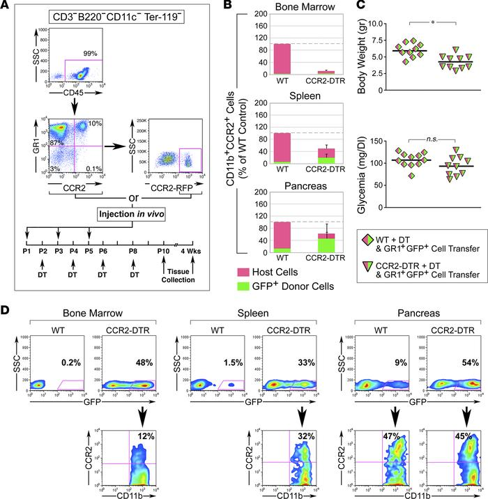Adoptive transfer of DT-resistant CCR2+ cells reconstitutes the pancreat...