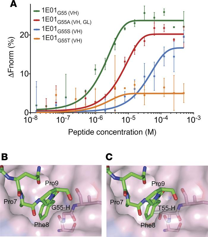 Steric hindrance at position 55 of IGHV3-23 interferes with binding of D...