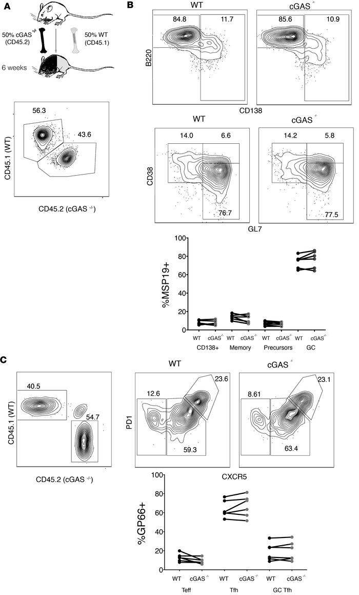 cGAS has no cell-intrinsic activity in antigen-specific CD4+ T cells or ...