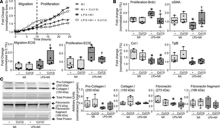 Macrophage secretion of Ccl12 regulates wound healing by decreasing myof...