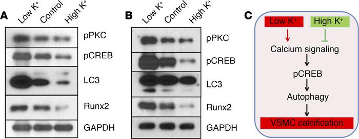 Potassium regulated the activation of CREB and autophagy in vascular cal...