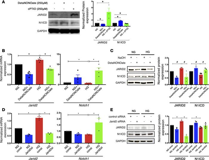 NO mediated Jarid2 repression restores Notch1 expression. (A) Immunoblot...