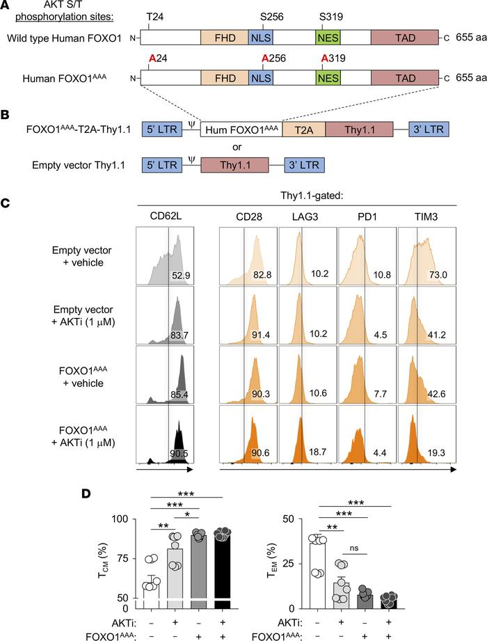 Expression of a constitutively active form of FOXO1 augments CD62L expre...