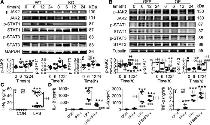 Swiprosin-1 deficiency attenuates the activation of the JAK2/STAT1/STAT3...