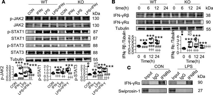 Swiprosin-1 deficiency attenuates the expression of IFN-γR in LPS-treate...