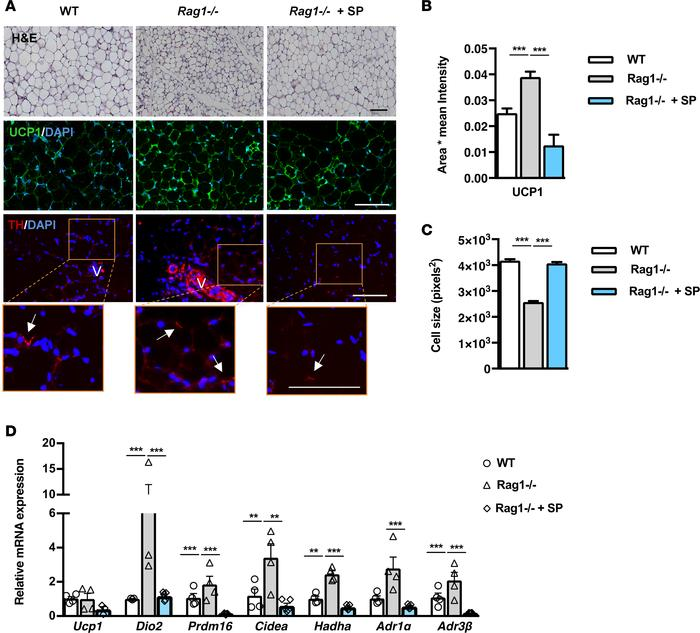 Adoptive transfer of whole splenocytes in Rag1–/– mice reverses the incr...