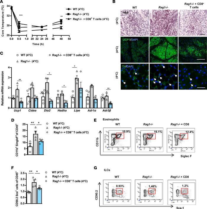Adoptive transfer of CD8+ T cells inhibits increased scWAT beiging in Ra...