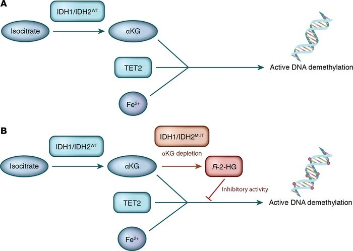 IDH1/2 mutations lead to increased production of the oncometabolite that...