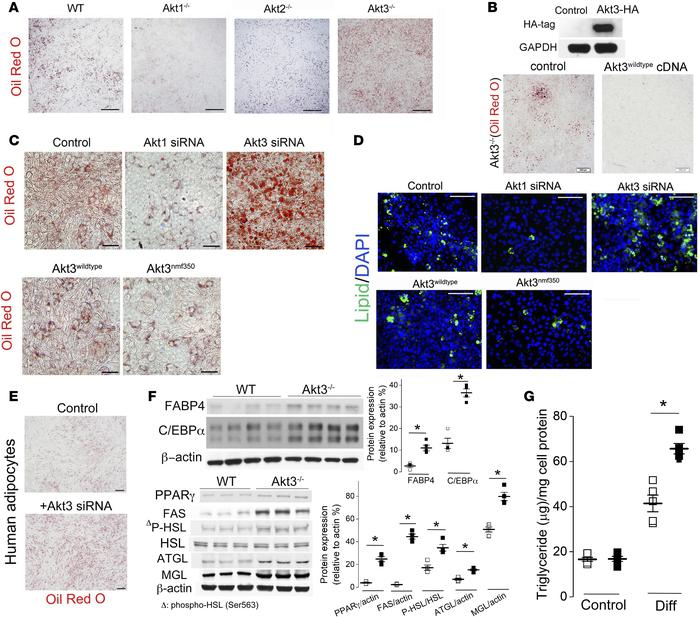 Lack of Akt3 activity promotes preadipocyte differentiation into adipocy...